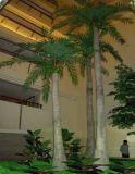 La noix de coco Royal Palm Tree (LS-007)
