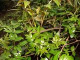 Estratto 98% del tè della vite di Dihydromyricetin 10-20%