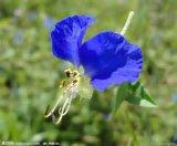 Pó comum do extrato da erva do Dayflower com melhor qualidade
