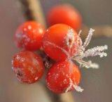 Hippophae rhamnoides extrait pur et naturel