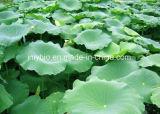 Heißer Verkaufs-natürlicher Lotos-Blatt-Auszug/Nucifera Auszug