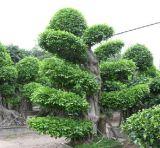 El Banyan (HBHF chino05).