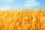 Пшеничной клейковины питание животных 65%мин
