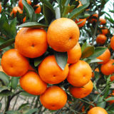 Düngemittel des Aminosäure-Puder-52% organisch