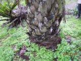 Unigrow Schmutz-Verbesserung behandelte auf Palmöl Ganoderma Lucidum Virus und Filarial Krankheit