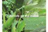 Landwirtschaftliche Chemikalien-Insektenvertilgungsmittel-Formulierung Wdg Nitenpyram&Pymetrozine