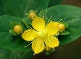 Extracto de erva natural de St. Johns 100% Hypericum Perforatum