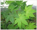 Extracto natural de chá de edulcorante natural para 70% de rubusósido