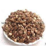 100%Natural Pinellia Auszug, Rhizoma Pinelliae Auszug-Puder
