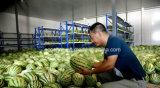 Usine de conservation fraîche de grande taille personnalisée d'entreposage au froid et de traitement pour le melon d'eau