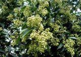 HPLC Specnuezhenide 1%-8% Nuezhenide/Ligustrum Lucidum Auszug/glatter Privet Frucht-Auszug