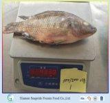 2016 Nieuwe Bevroren Tilapia van het Overzeese Voedsel van de Aankomst Vissen