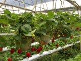 Strawberrry 설치를 위한 Unigrow 토양 조절기