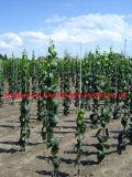 Vinhedo Rod da fibra de vidro de Pultruded, borne da sustentação da fibra de vidro