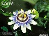 Passiflora encarnado en polvo Extracto de la cápsula con alta calidad OEM Service
