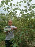 Zizyphus Mauritiana Lam에 Unigrow 토양 개선