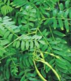 Astragalus Polysaccharide: 10%-50% door UVAstragalus Uittreksel