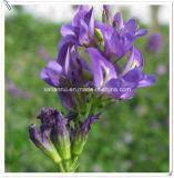 Fabricant Natural Alfalfa / Medicago Sativa L. Extract Powder