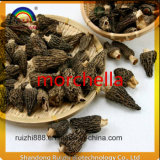 Grüne NahrungsmittelpilzMorchella die hochwertigen Waren