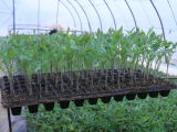 Fabricante de 540X280mm Fornece Fornece Células Diferentes Black PS Plastic Nursery Trays for Plant Seedlings