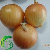 Vegetal fresco da cebola da colheita nova 5cm-9cm