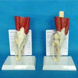 의학 가르치는 무릎 관절 해골 해부학 기능적인 모형 (R040105)