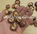 Fungo di Shiitake liscio nutriente del rifornimento della fabbrica