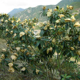 La protección galvanizada de la fruta de estrella de la prueba del agua del alambre crece la bolsa de papel para el plátano popular en Malasia Vietnam Sri Lanka