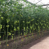 Nuova serra di vetro commerciale per la verdura