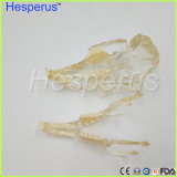 Dent de enseignement vétérinaire de lapin de lapin de dent de modèle neuf de maxillaire modèle professionnel transparent