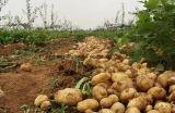 Neue Kartoffel des Getreide-2017 mit Qualität