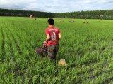 Hot Sale Équipement de machinerie agricole 1-3 rangées Paddy Field Weeder à vendre
