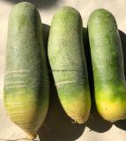 Haute qualité de radis vert frais