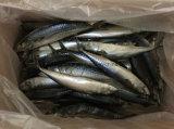 Makreel van de Grootte van de goede Kwaliteit de Kleine (100-120)