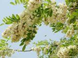 Extrait végétal Extrait Sophora Japonica 95% Quercétine