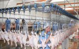 Chinesische ökonomische Schlachtlinie für Brathühnchen