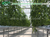 Tomato를 위한 EU Model Film Agricultural Greenhouse