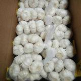 Aglio bianco puro cinese fresco del nuovo raccolto (5.0cm, 5.5cm, 6.0cm)