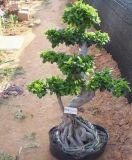 기근 Ficus (HBH-R03)