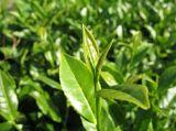 Matchaの緑茶のプラントエキスのポリフェノール