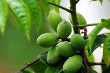 Органических оливковых листьев экстракт порошок в основную часть Hydroxytyrosol 5% - 80%