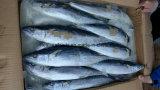 Afrika-Meer gefrorene chinesische spanische Makrele