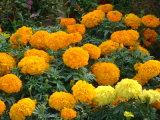 Estratto dell'estratto/sette fiori dell'estratto della radice del tagete/fiore dell'Alfa-Terthienylmarigold/estratto fiore del melograno