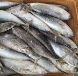 De Tonijn van de Kogel van Seafrozen voor Marketing 300-500g