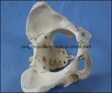 Adulto Modelo femenino de la pelvis modelo de enseñanza anatómica