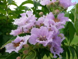 Luta contra o extrato de folhas de banaba de Diebetes 1% ~ 98% de ácido corosólico
