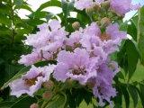 Saúde Natural Banaba extrato de folhas 1%~98% Ácido Corosolic