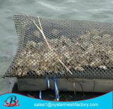 Die Auster, die heraus wächst, bauscht sich in der guten Qualität