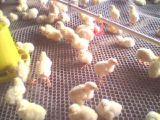 Сетка плоской проволоки поставкы цены по прейскуранту завода-изготовителя пластичная на цыпленок, гусына, сетка утки пластичная плоская с легковесом и длинная жизнь