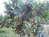 De Meststof van de Grond van Unigrow bij het Planten van de Citrusvrucht